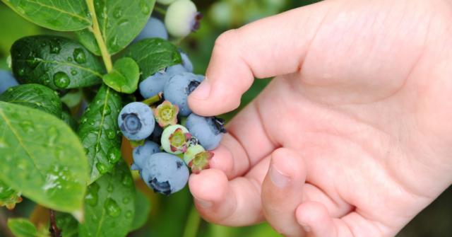 Picking fruit at an optimal harvest date